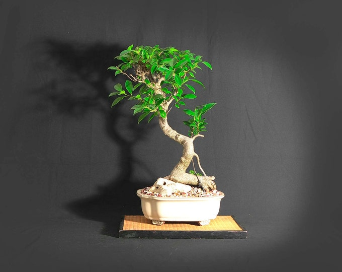 """Tiger bark fig bonsai tree, """"Back to normal"""" collection from LiveBonsaiTree"""