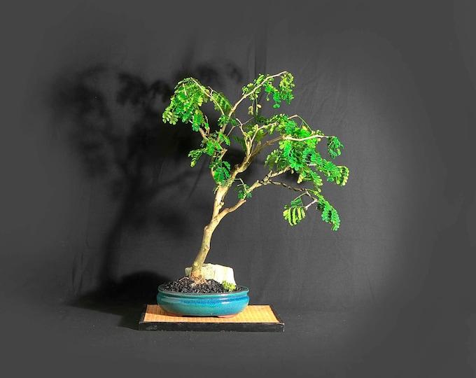 "Rare thornless Brazilian raintree bonsai tree, ""Vitamin"" collection from LiveBonsaiTree"