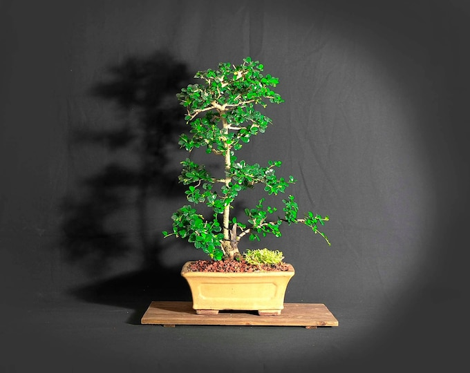 "Dwarf Fukien Tea (rare) bonsai tree, ""Summer heroes"" collection from LiveBonsaiTree"