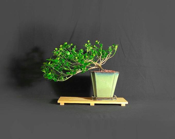 "Natal Plum (Emerald blanket) bonsai tree, ""African Savannah"" Collection"" from LiveBonsaiTree"