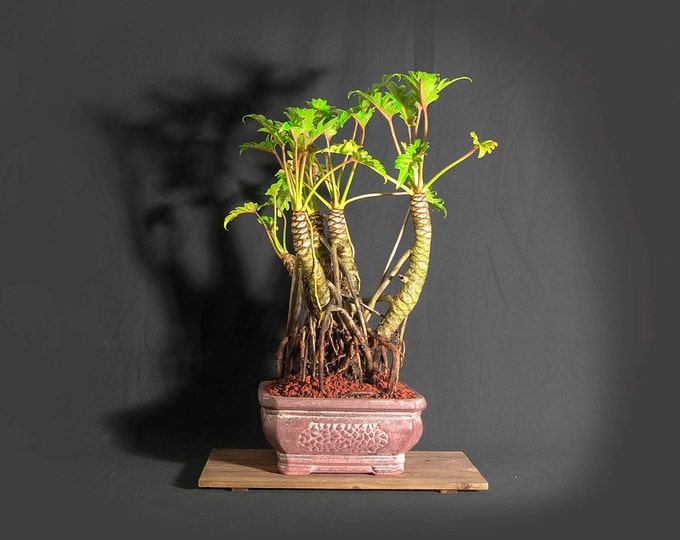 "Dwarf mature Xanadu philodendron bonsai composition, ""Original, American, Handmade!"" collection from LiveBonsaiTree"