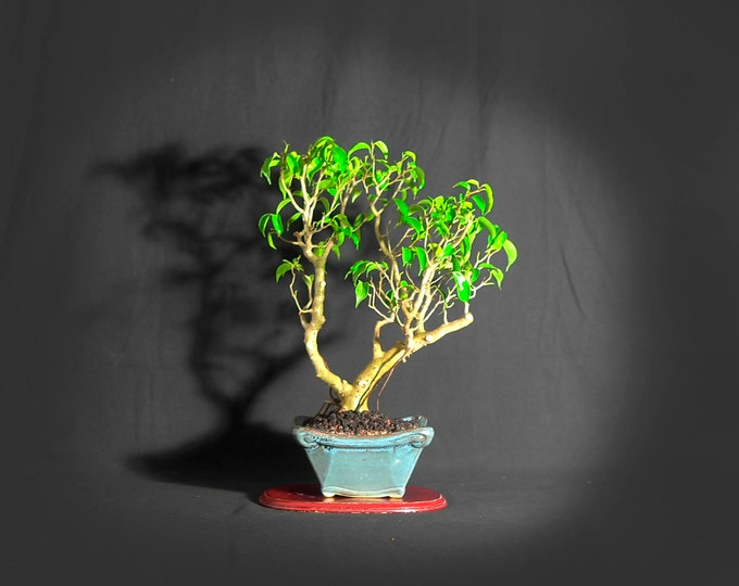 "Ficus Wiandii bonsai tree, ""Exotica"" collection from LiveBonsaiTree"