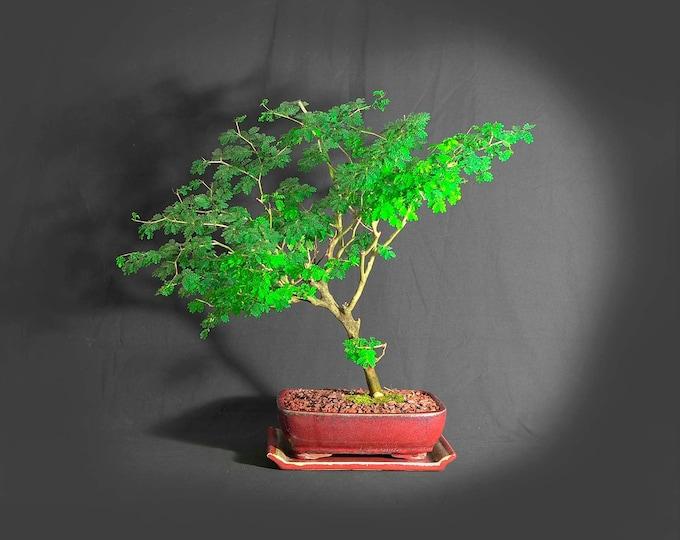 "Brazilian raintree bonsai tree, ""Back to Normal"" collection from LiveBonsaiTree"