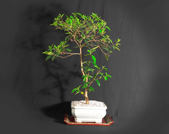 """Tibouchina bonsai tree, """"Back to normal"""" collection from LiveBonsaiTree"""
