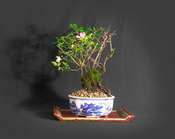 "Dwarf Rose Bonsai Tree, ""Anti-depressant"" collection from LiveBonsaiTree"