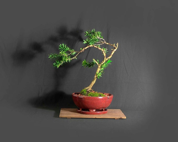 "Dwarf bottlebrush bonsai tree, ""Vitamin"" Collection from LiveBonsaiTree"
