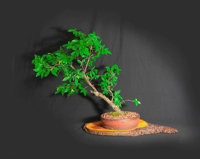 "Winged elm bonsai tree, ""Anti-depressant"" collection from LiveBonsaiTree"