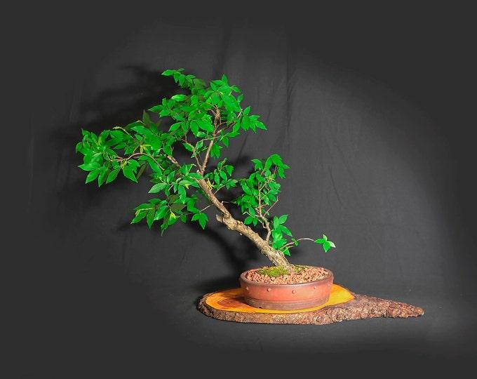 "Winged elm bonsai tree, ""Anti-depressant"" collection from LiveBonsaiTree"