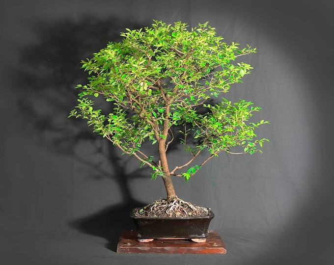 """Allee Elm  (rare) bonsai tree, """"Elms of the world"""" collection from LiveBonsaiTree"""