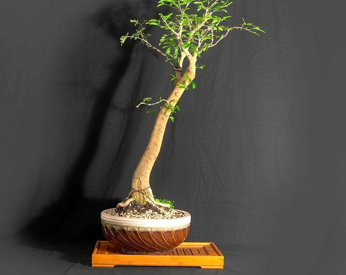 "Bulnesia Arborea bonsai tree, ""Maturity"" collection from LiveBonsaiTree"