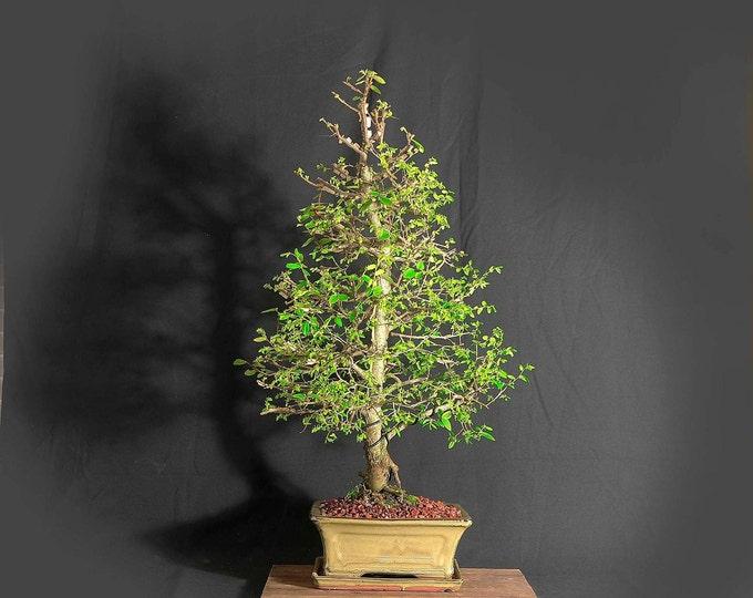"Mature winged elm bonsai tree, ""Anti-depressant"" collection from LiveBonsaiTree"