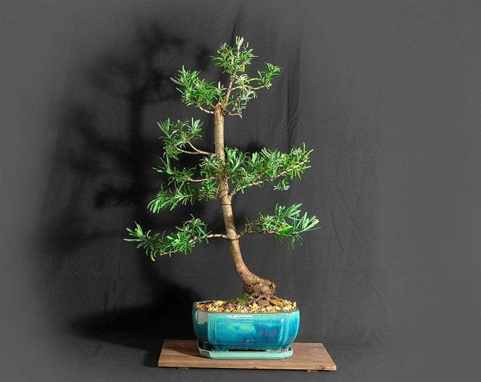 "Blue Ice Buddha pine (rare) bonsai tree, ""Vitamin"" collection from LiveBonsaiTree"
