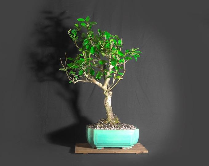 "Mature Apple Bonsai tree, ""American apple pie!"" collection from LiveBonsaiTree"