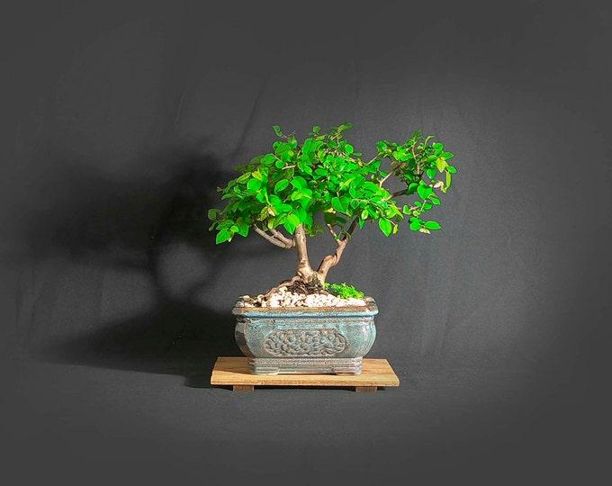 "Sageretia theezans bonsai tree, ""Vitamin"" collection from LiveBonsaiTree"""
