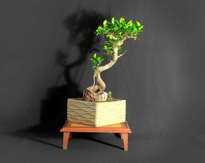 """Tiger bark fig bonsai tree, """"Ultimate Cure"""" collection from LiveBonsaiTree"""