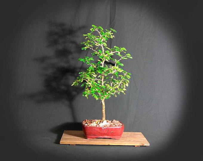 """Texas Ebony bonsai tree, """"Summer heroes"""" collection from LiveBonsaiTree"""