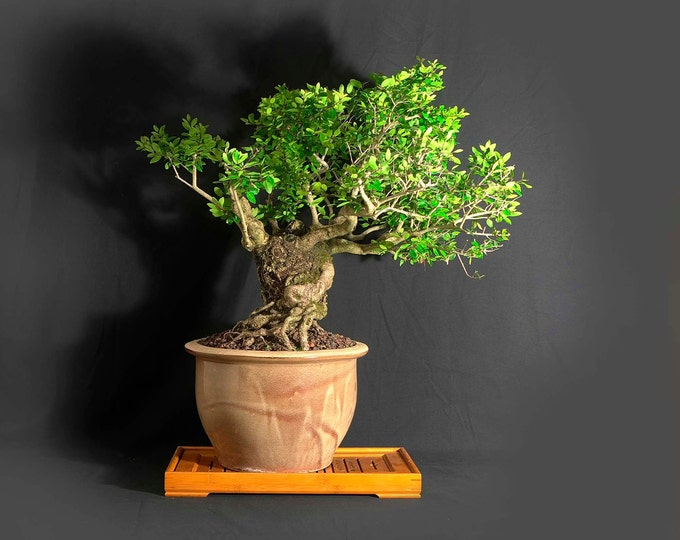 """Dwarf Schilling Holly, """"Maturity"""" collection from LiveBonsaiTree"""