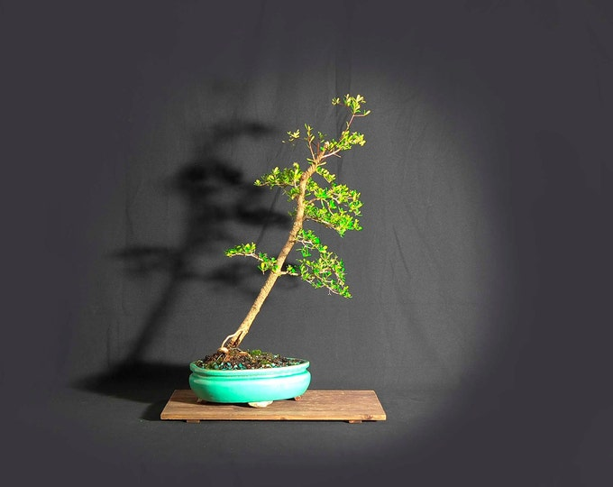 """Black Olive Bonsai tree, """"Climate Change"""" collection by LiveBonsaiTree"""