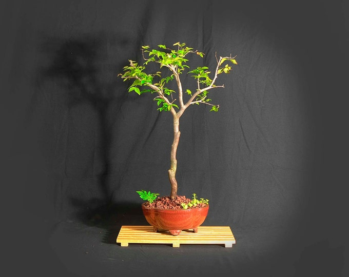 "Jabaticaba Bonsai Tree, ""First Fruit"" collection from Live Bonsai Tree"