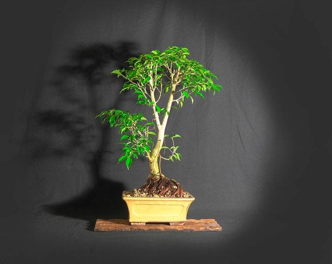 "Ficus Benjamina bonsai tree, ""Exotica"" collection from LiveBonsaiTree"