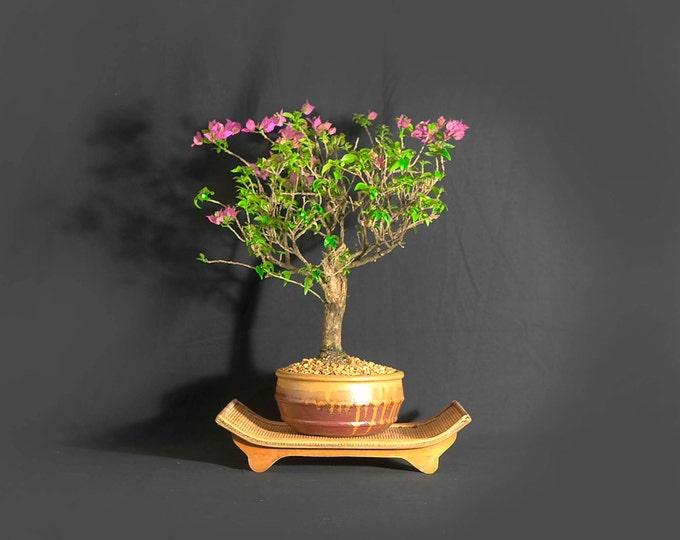 "Super dwarf Bougainvillea bonsai tree, ""Stimulus spent!"" collection from LiveBonsaiTree"