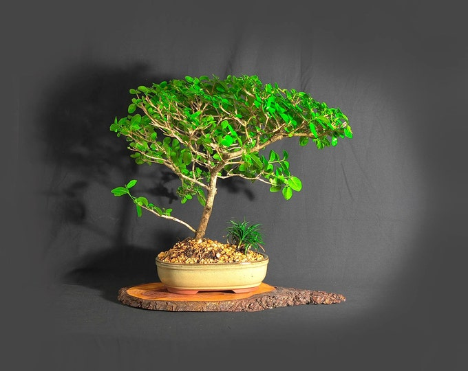 "Premna Bonsai Tree (rare), ""Green Wonder"" collection from LiveBonsaiTree"""