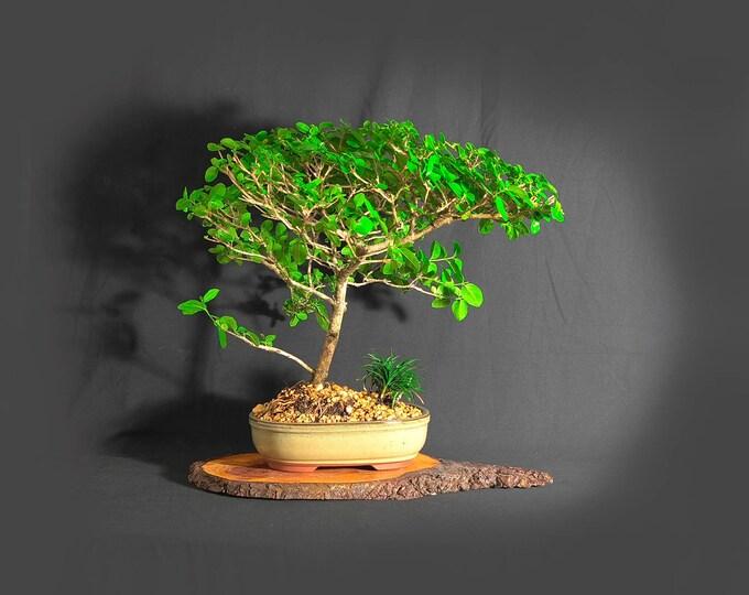"Premna Bonsai Tree (rare), ""Green Wonder"" collection from LiveBonsaiTree"""