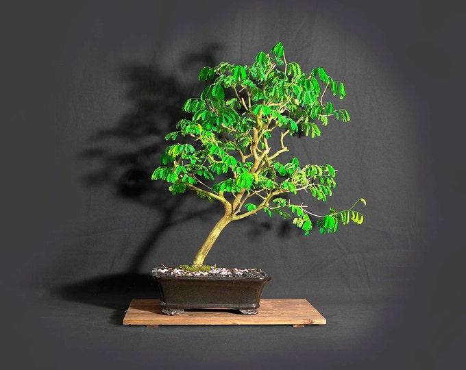 "Brazilian raintree bonsai tree, ""Climate change"" collection from LiveBonsaiTree"