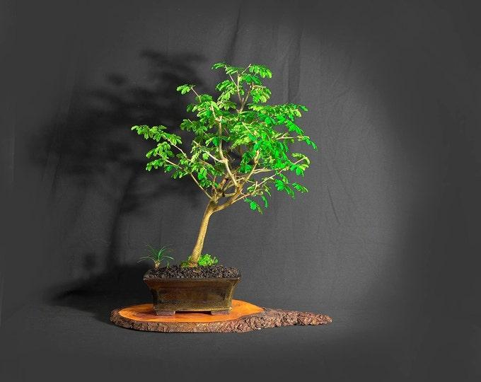 "Brazilian raintree bonsai tree, ""Maturity"" collection from LiveBonsaiTree"
