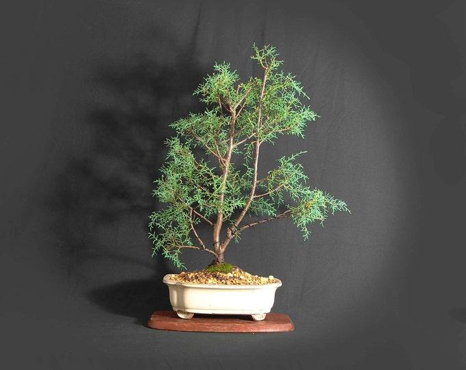 "Sochi Cypress Bonsai Tree, ""Rare flora"" collection by LiveBonsaiTree"