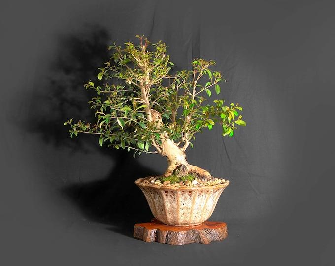 "Mature Australian Brush Cherry Bonsai tree, ""Ultimate Cure"" collection from LiveBonsaiTree"