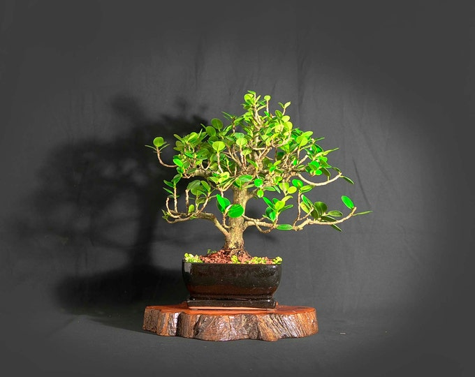 """Green Island fig bonsai tree, """"First Fruit"""" collection from LiveBonsaiTree"""