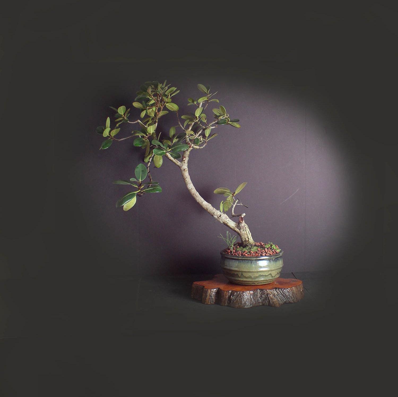 Ficus Rubiginosa (rare) bonsai tree, Indoor bonsai collection