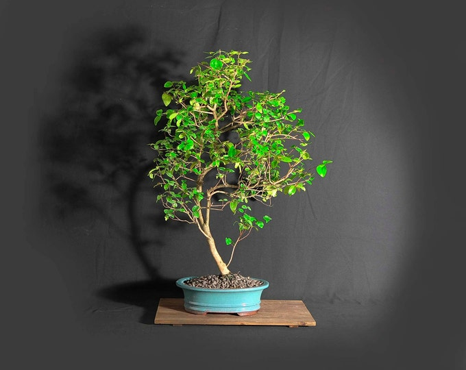 "Surinam cherry bonsai tree, ""Service pet"" collection from LiveBonsaiTree"