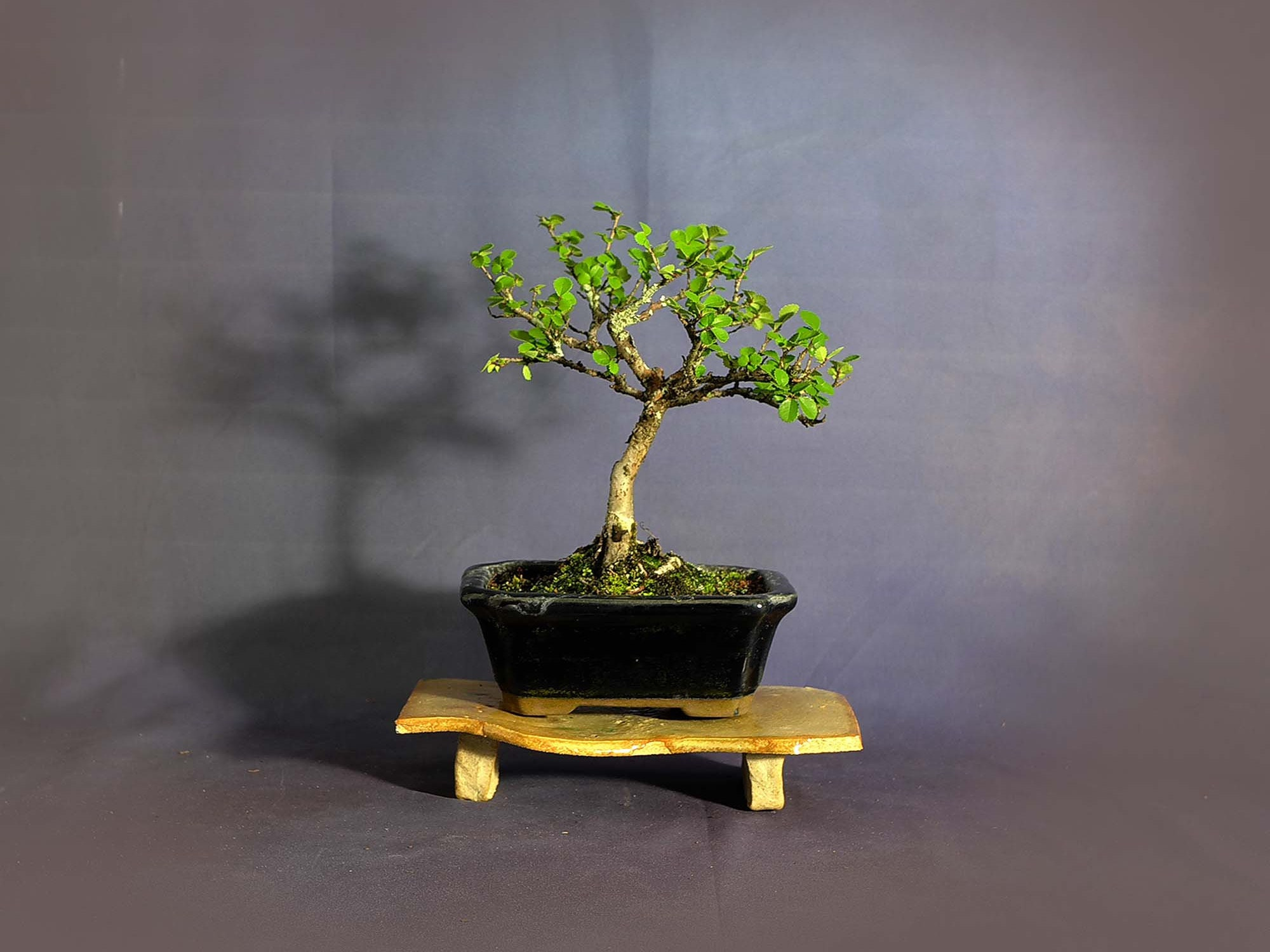Catlin Elm Bonsai Tree Essential Pet Collection From Livebonsaitree