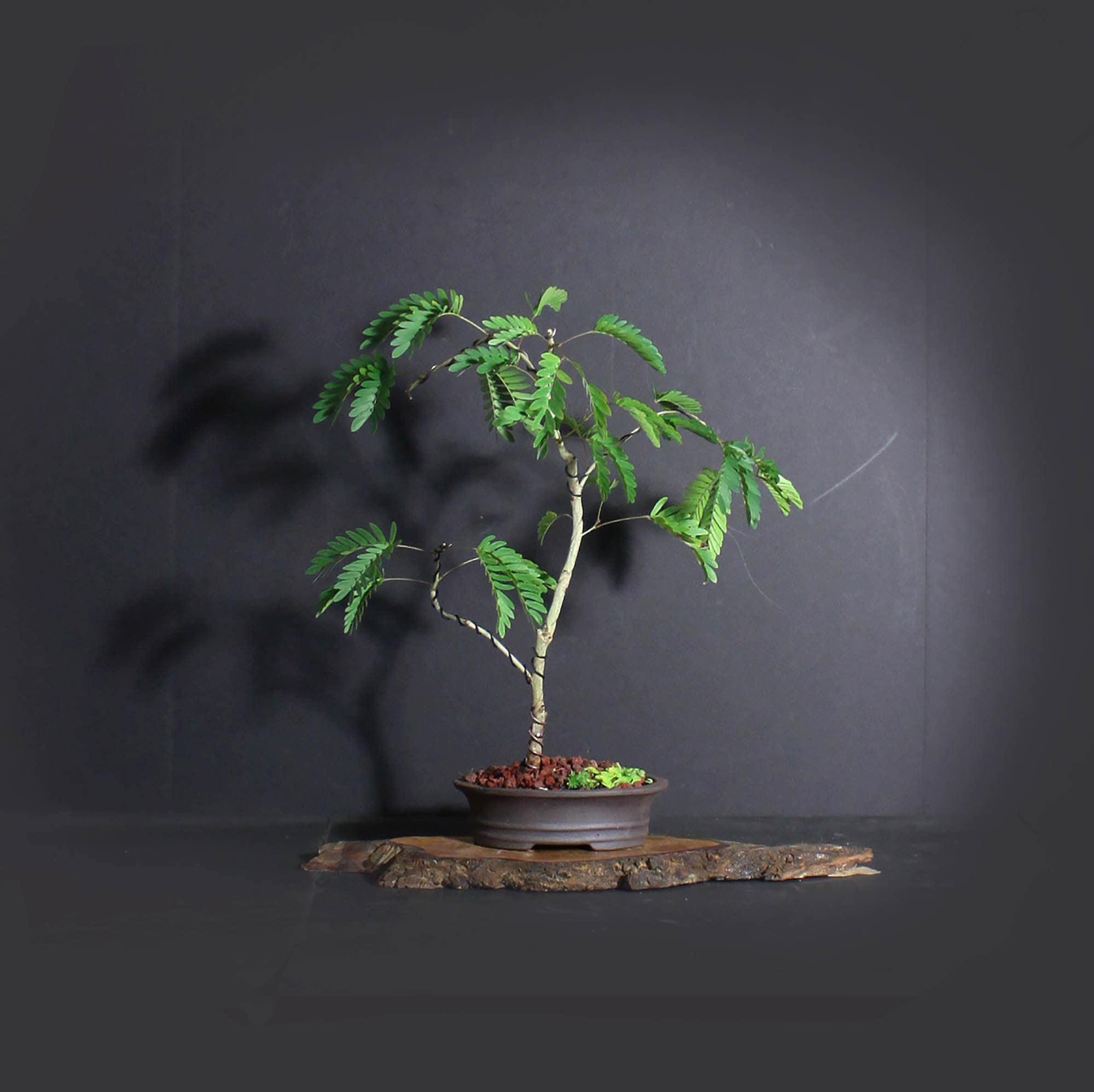 Red Powder Puff Bonsai Tree Blooming Tropics Collection From Livebonsaitree