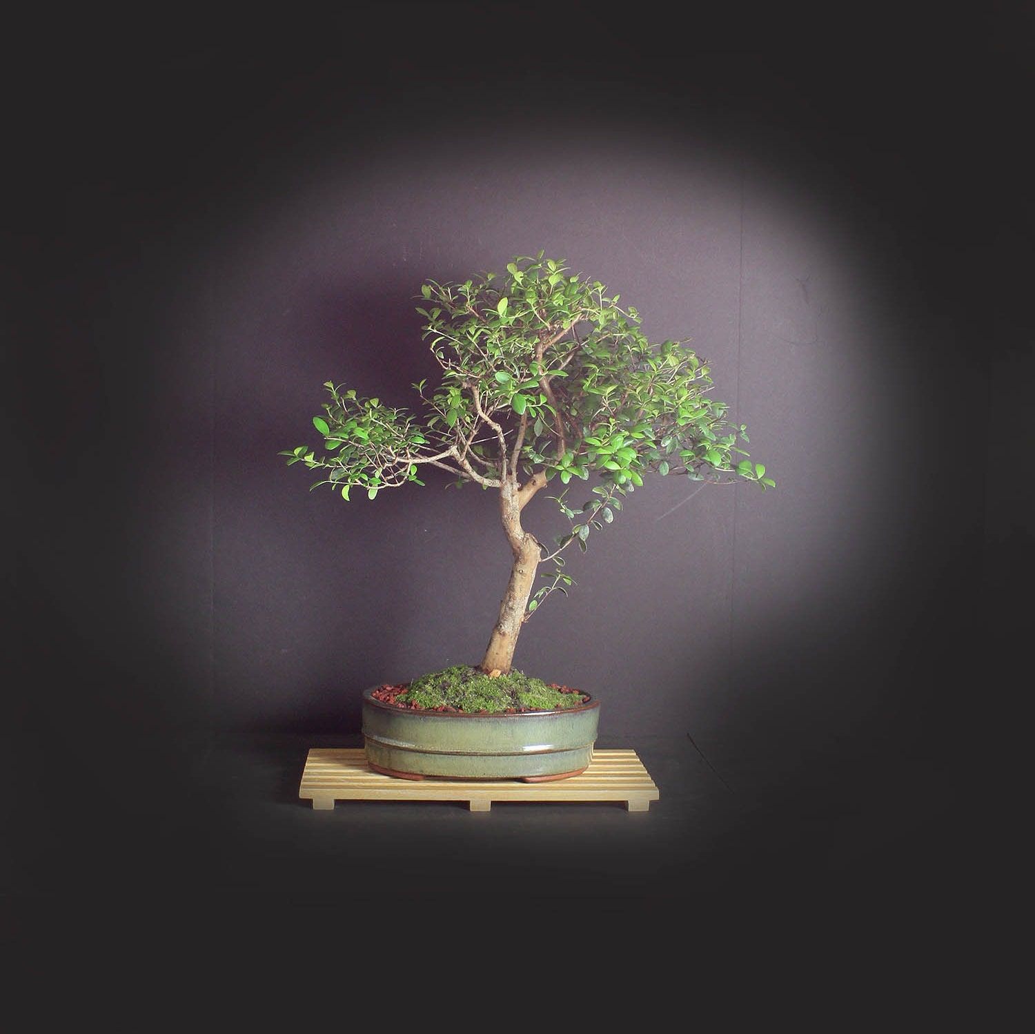 Simpson Stopper Bonsai Tree Exotic Bloom Collection From Livebonsaitree