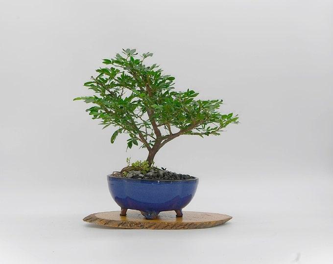 "Calliandra schultzei Powder Puff bonsai tree, ""Zen for Home"" Collection from LiveBonsaiTree"