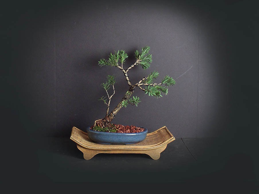 Dwarf Bottlebrush Bonsai Tree Blooming Tropics Collection From Livebonsaitree