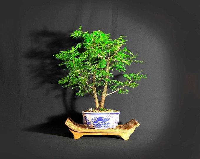 "Rabbits foot Acacia bonsai tree, ""Service pet"" collection from LiveBonsaiTree"