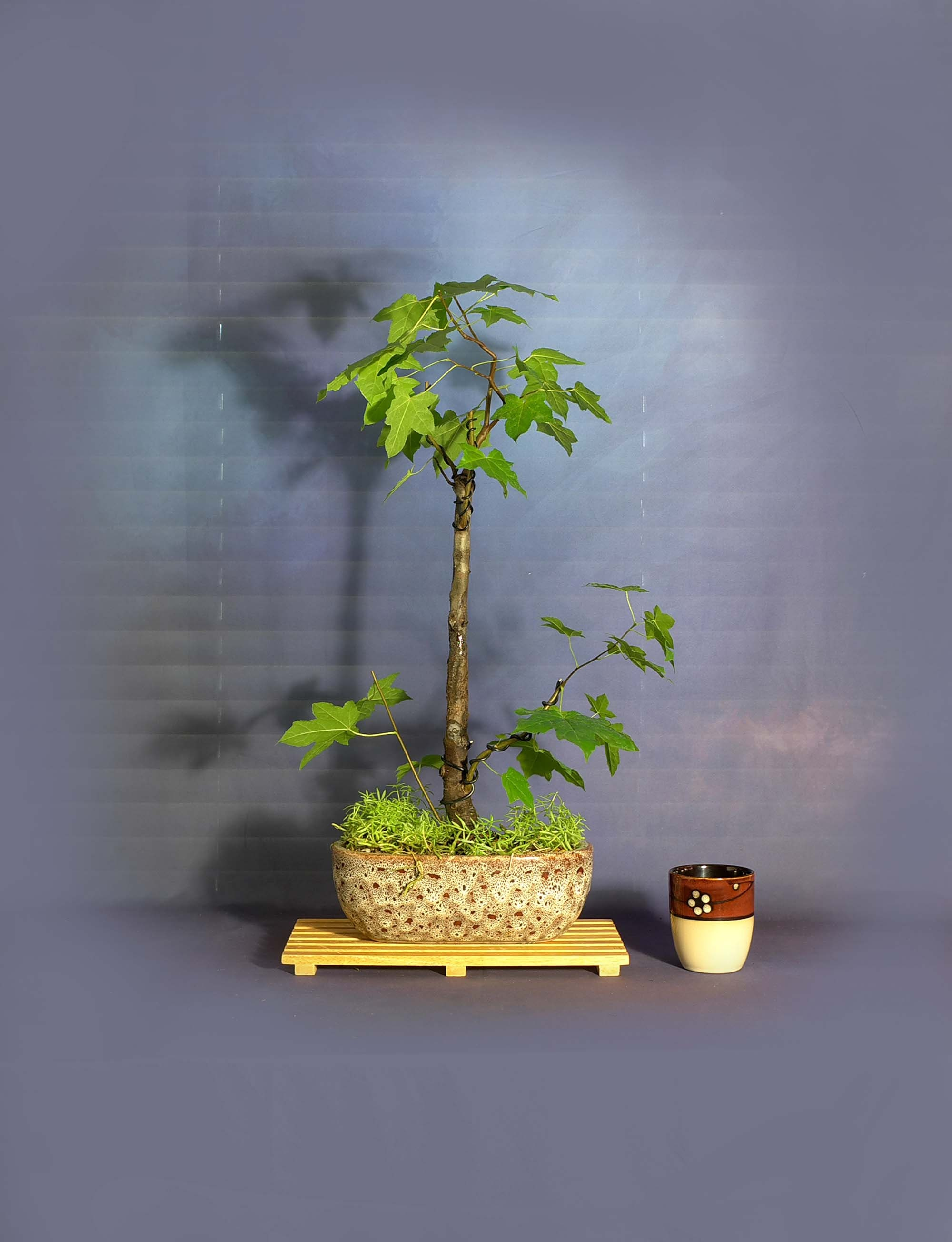 Sweetgum Bonsai Tree Light Endtunnel Collection From Livebonsaitree