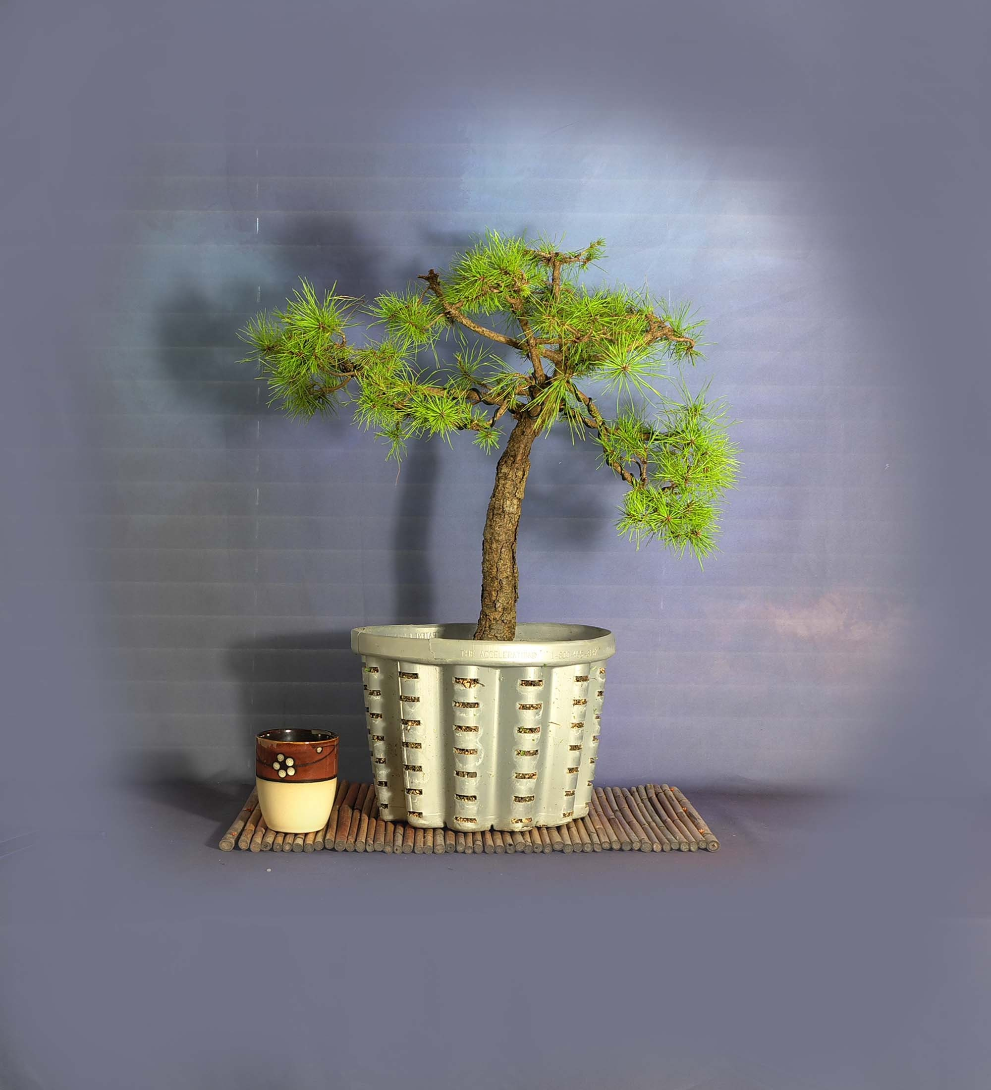 Rare Grafted Witches Broom Pine Bonsai Tree From Livebonsaitree