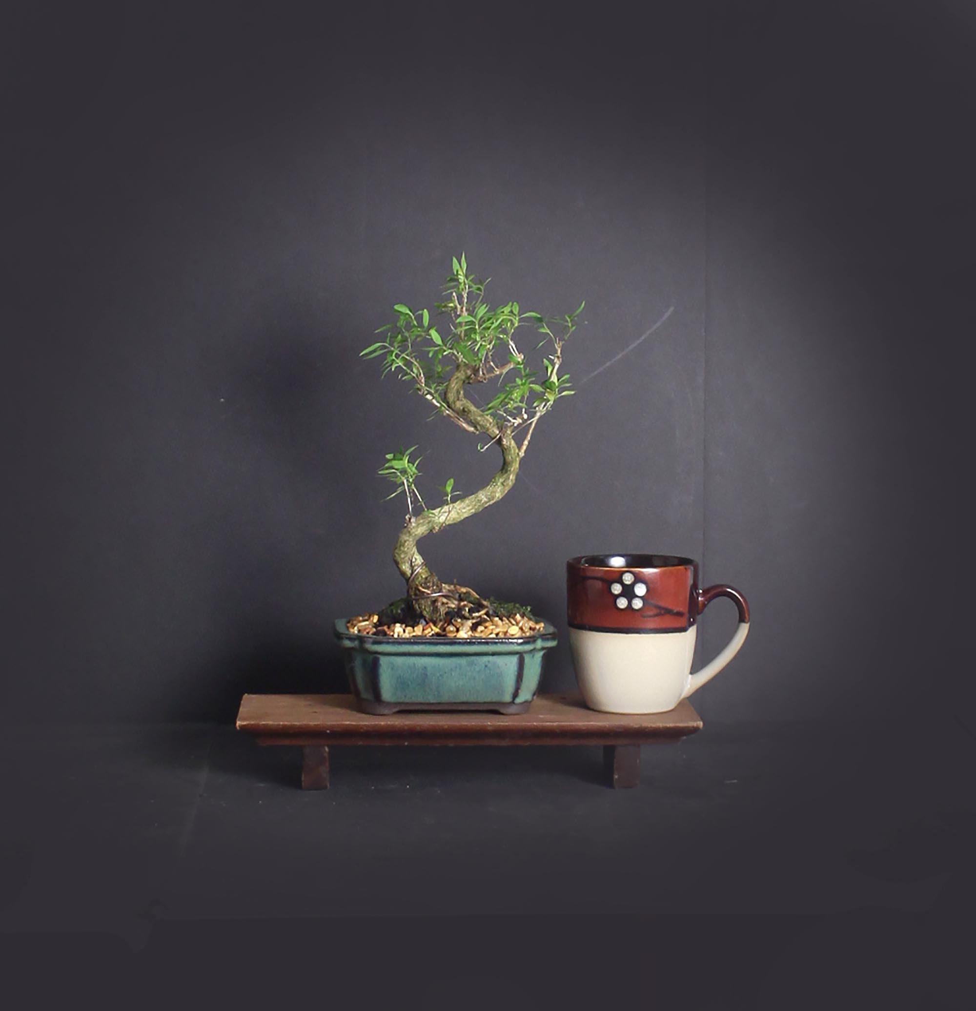 Serissa snow rose bonsai tree, Indoor bonsai tree collection