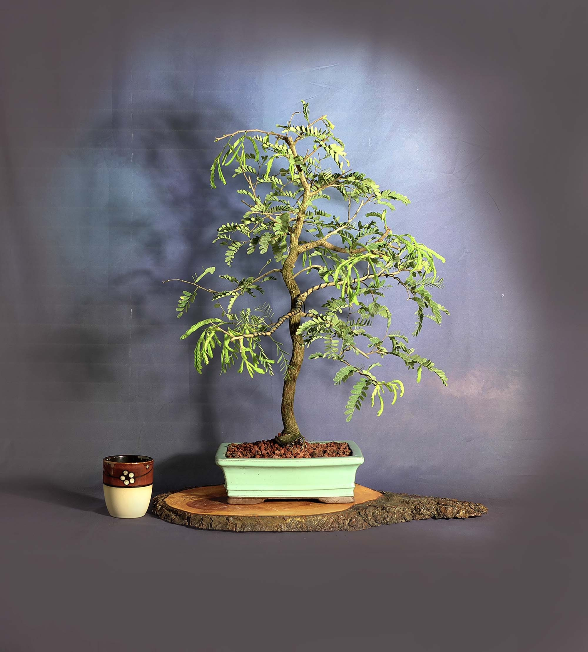 Tamarind Bonsai Tree First Responder Collection From Livebonsaitree