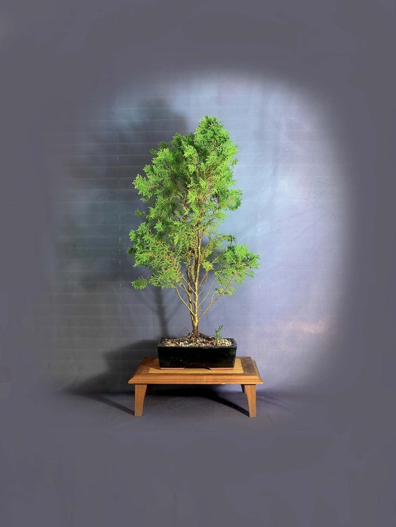 Canadian Lace Arborvitae Bonsai Tree Conifer Collection From Etsy