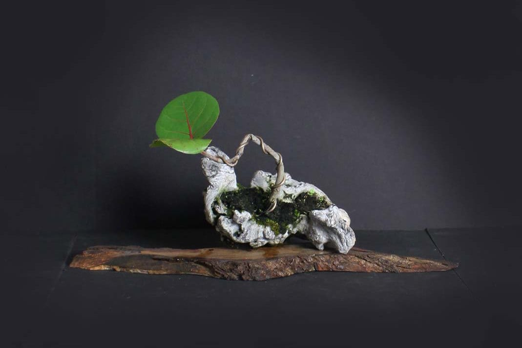 Sea Grape Pre Bonsai Tree Composition Fruiting Collection From Live