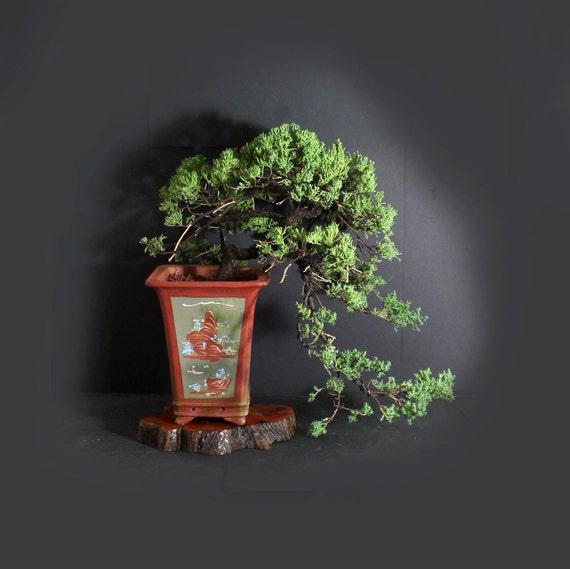 Mature Juniper Procumbens Nana Bonsai Tree 2020 Conifer Etsy
