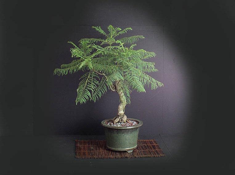 mature jacaranda bonsai tree tropical collection from. Black Bedroom Furniture Sets. Home Design Ideas