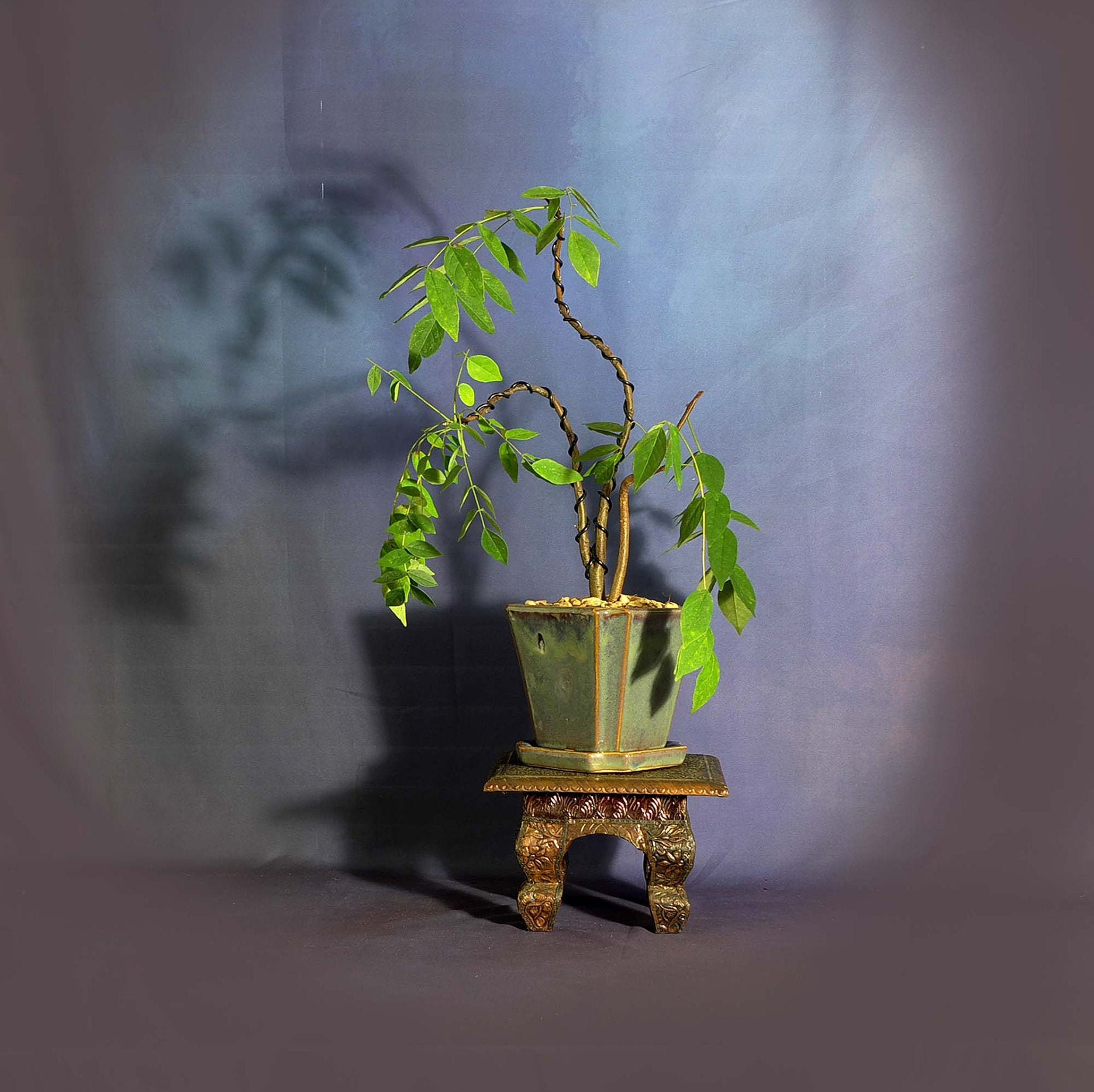 Japanese Wisteria Bonsai Tree Hanging Bloom Collection From Livebonsaitree