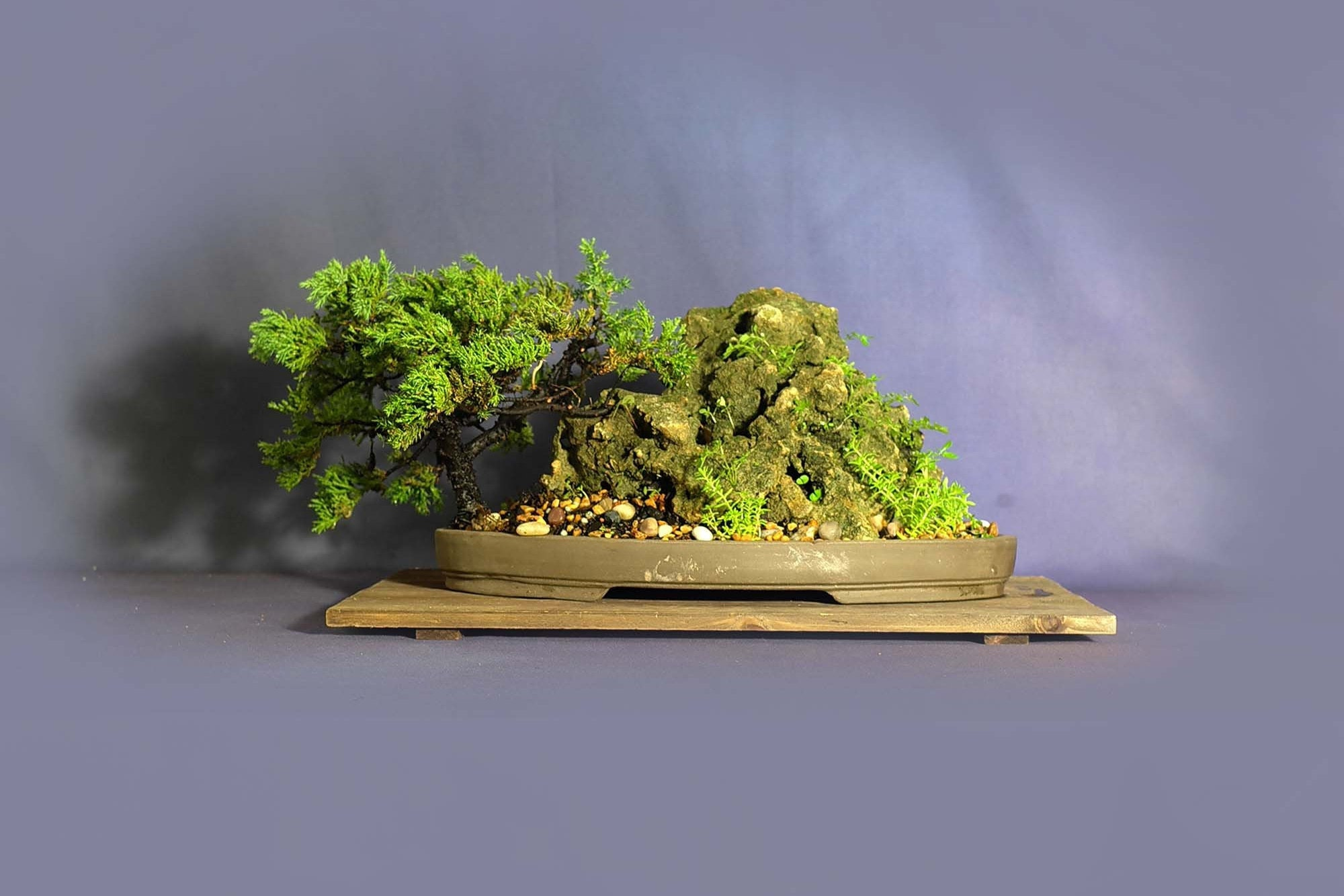 Juniper Procumbens Nana Bonsai Tree 2020 Conifer Collection From Livebonsaitree